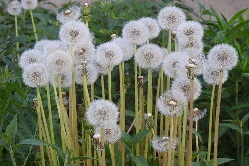 daržinė pienė, kiaulpienė, pavasaris, gėlės, meadow, pobūdį, augalų, Kiaulpienė officinale, piktžolių, Kiaulpienė, kiaulpienė laukas