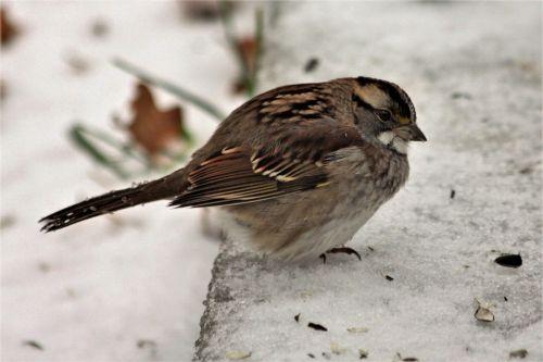 gamta, laukinė gamta, gyvūnai, paukščiai, žvirblis, daina & nbsp, žvirblis, ruda & nbsp, plunksnų, pilka & nbsp, plunksnų, daina & nbsp, paukštis, pūkuotas & nbsp, šaltas, žiema, sniegas, dainos sparrow in snow