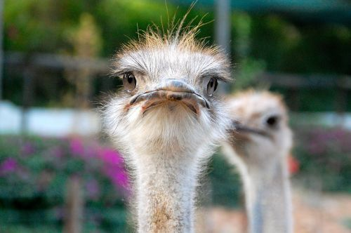 pietų Afrika,strutis,akys,afrika,gyvūnai,paukštis,plunksnos,snapas