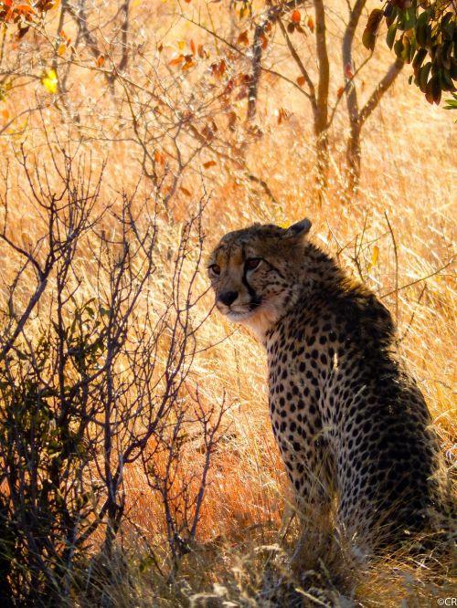 pietų Afrika,Laukiniai gyvūnai,gamta,fotografija laukinė,safari,Gepardas,plėšrūnas,laukinės gamtos fotografija,Nacionalinis parkas,gyvūnų portretas