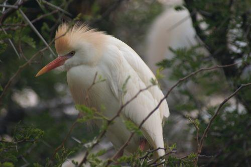 pietų Afrika,paukštis,gyvūnas,laukinės gamtos fotografija