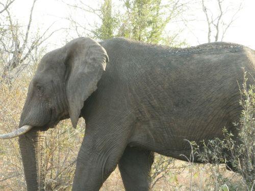 pietų Afrika,african bush dramblys,bushland