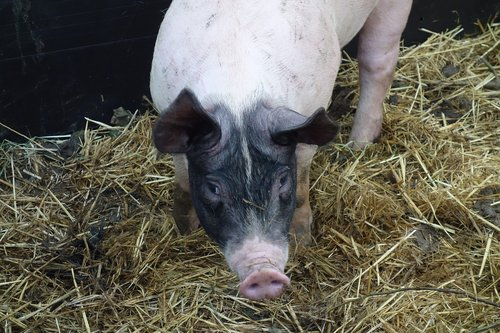 sėti, kiaulių, gyvūnai, zoologijos sodas