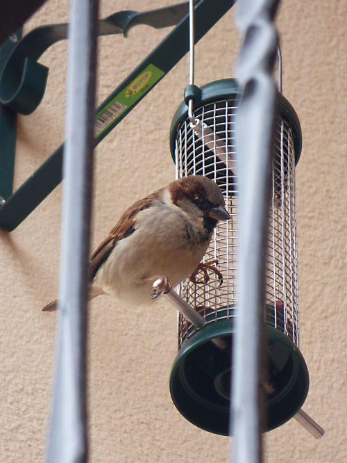 žvirblis,paukštis,tiektuvas