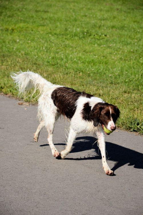 rutulys, snapas, šuo, gyvūnas, naminis gyvūnėlis, vaikščioti, žaisti, žaisti su rutuliu