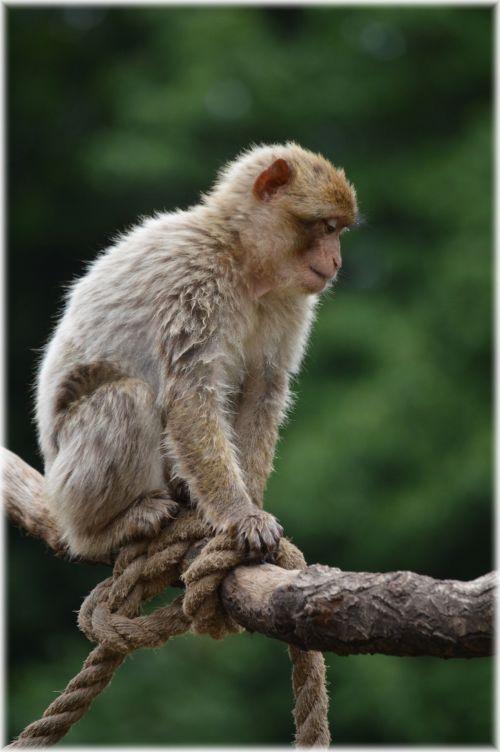 beždžionė, žaisti, lynai, pakabinti, žaisti virve