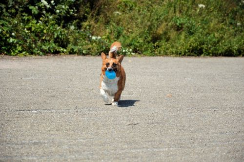 šuo, naminis gyvūnėlis, gyvūnas, parkas, vaikščioti, žaisti, kelia, žaisti & nbsp, kamuolys, žaisti šunį