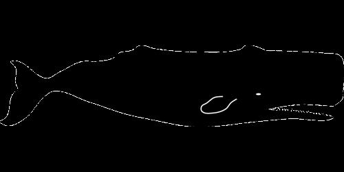 banginis sperma,fizteris macrocephalus,cachalotas,didelis,zobuotosios banginės,gyvūnas,jūrų,jūra,banginis,žinduolis,jūrų žinduolis,nemokama vektorinė grafika
