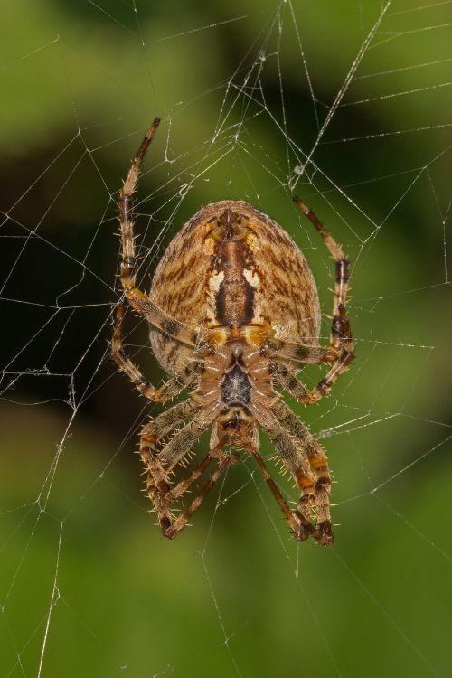 voras,arachnid,voratinklis,makro,Uždaryti,voratinklio makro,kelyje,miško pakraštis,plaukuotas