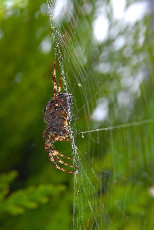 voras,viela,drobė,gamta,makro,kojos,gyvūnai,lapai,voratinklis,arachnid,spąstus,grobis,vabzdys,Iš arti,žalias,medis,apsidraudimas,fauna,klaida,pinti gylis,lauko gylis,laukas,sodas,baimė,juoda idėja,Halloween