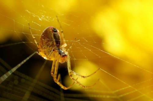 voras,tinklas,gamta,Uždaryti,voratinklis,vabzdys,makro,makrofotografija,šilko siūlai,Perspektyvaus,sodas,arachnid,augalas,atgal šviesa,gyvūnai,fauna,šviesa,vasara,saulė,fonas,lichtspiel,voratinklio makro,vabzdžių makro,geltona,spalva,makro nuotrauka,kabantis,glazūruotas apima,šviesus