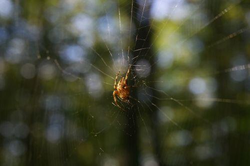 voras,miškas,voratinklis,drobė,gamta