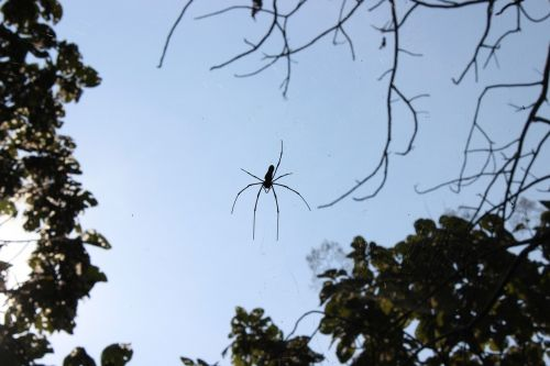 voras,voratinklis,arachnid,creepy,vabzdys,klaida,mažas,krūtinės angina,laukiniai,entomologija,lauke,gyvenimas,gamta,bestuburiai