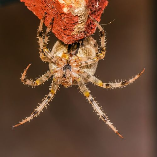 voras,su,karūnuotas keresztespók,araneus diadematus,arachnida,vorai,nariuotakojų,nariuotakojų,plaukuotas,gamta,gyvūnas,fauna