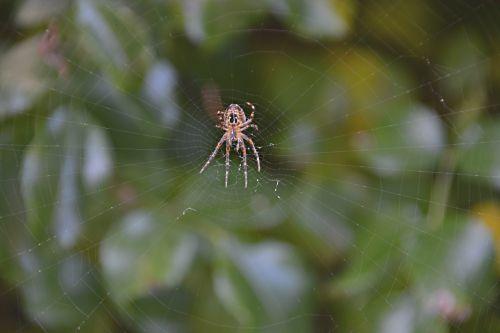 voras, drobė, gamta, vabzdys