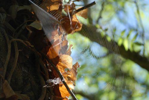 voras,drobė,gamta,vabzdys,makrofotografas