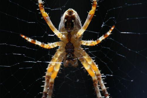 voras,makro,Uždaryti,vabzdys,voratinklis,gamta,tinklas,arachnid,miškas,voratinklio makro,gyvūnų pasaulis,vabzdžių makro
