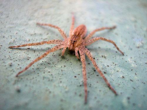 voras,makro,nariuotakojų,gyvūnas