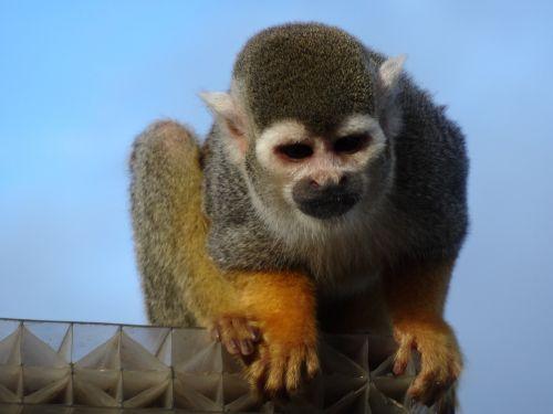 voras beždžionė,zoologijos sodas,beždžionė,žinduolis,primatas,gamta,žiūri