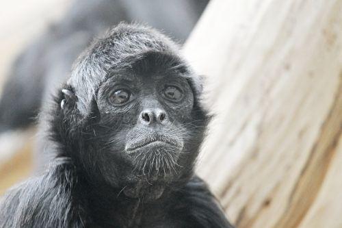 voras beždžionė,beždžionė,ape,zoologijos sodas,gyvūnas,žinduolis,vaizdas,gamta,primatas,mąstymas,akys,Uždaryti,siurprizas,nauja pasaulio beždžionė,galva,veidas,veido išraiška,portretas