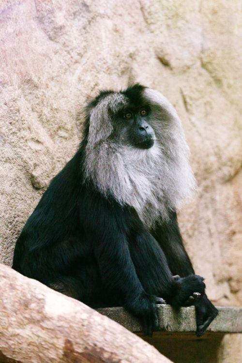 gyvūnas, ape, juoda, Kolumbijos, veidas, kailis, žinduolis, beždžionė, natūralus, gamta, primatas, poilsio, sėdi, voras, laukinė gamta, zoologijos sodas, atelės, fusciceps, rufiventris, voras beždžionė
