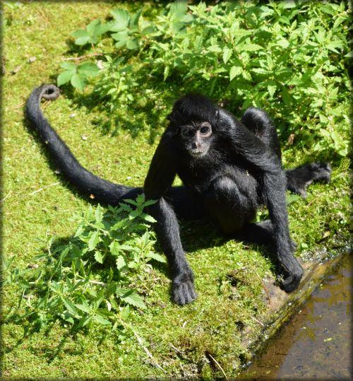 beždžionė, stipraus & nbsp, uodegos & nbsp, beždžionės, voras, beždžionė, miško & nbsp, velnias, voras beždžionės 01