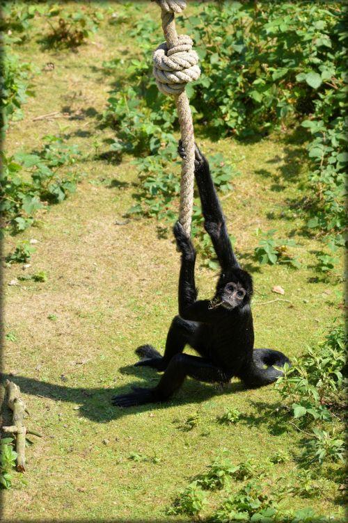 beždžionė, stipraus & nbsp, uodegos & nbsp, beždžionės, voras, beždžionė, miško & nbsp, velnias, voras beždžionės 04