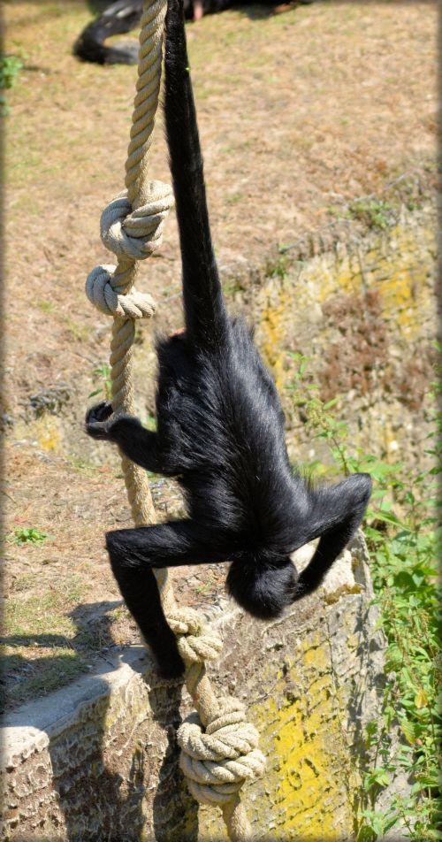 beždžionė, stipraus & nbsp, uodegos & nbsp, beždžionės, voras, beždžionė, miško & nbsp, velnias, voras beždžionės 11