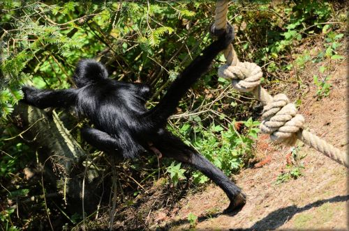 beždžionė, stipraus & nbsp, uodegos & nbsp, beždžionės, voras, beždžionė, miško & nbsp, velnias, voras beždžionės 16