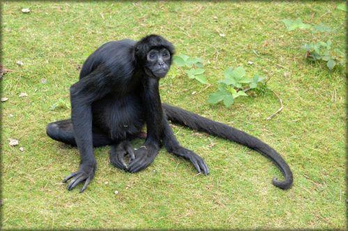 beždžionė, stipraus & nbsp, uodegos & nbsp, beždžionės, voras, beždžionė, miško & nbsp, velnias, voras beždžionės 18