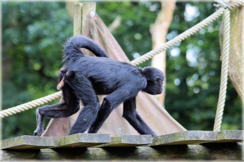 beždžionė, stipraus & nbsp, uodegos & nbsp, beždžionės, voras, beždžionė, miško & nbsp, velnias, voras beždžionės 20
