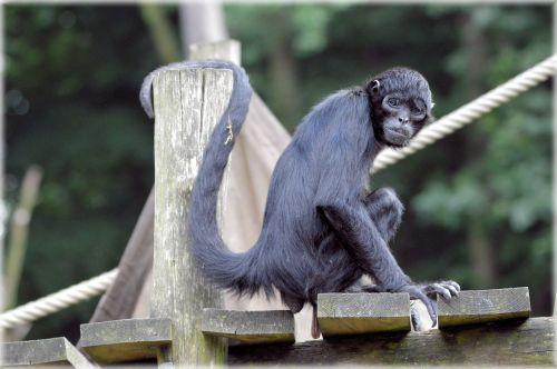 beždžionė, stipraus & nbsp, uodegos & nbsp, beždžionės, voras, beždžionė, miško & nbsp, velnias, voras beždžionės 22