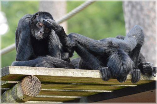 beždžionė, stipraus & nbsp, uodegos & nbsp, beždžionės, voras, beždžionė, miško & nbsp, velnias, voras beždžionės 24
