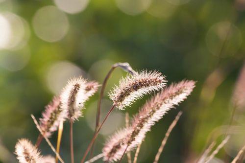 spiglys,awns,žolė,grūdai,grūdai,laukiniai grūdai,Žemdirbystė,atgal šviesa,abendstimmung