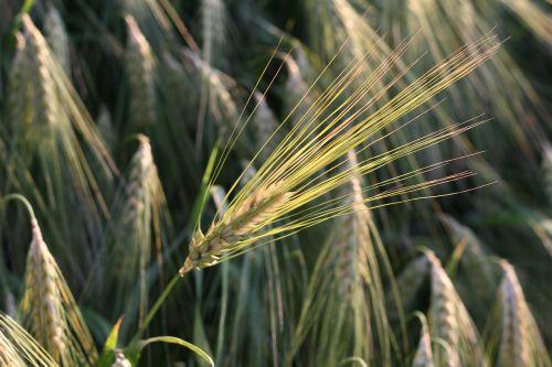 spiglys,kukurūzų laukas,augalas
