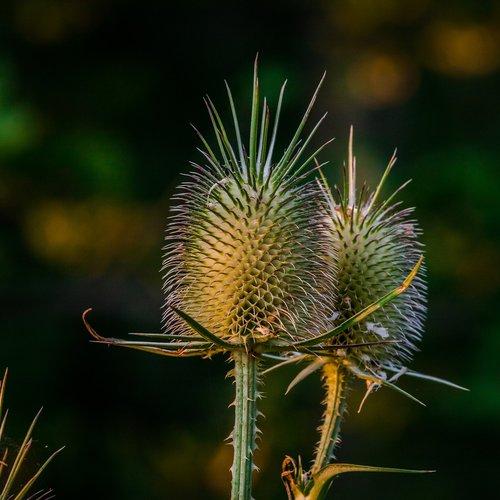 spiglys, augalų, pobūdį, gėlė