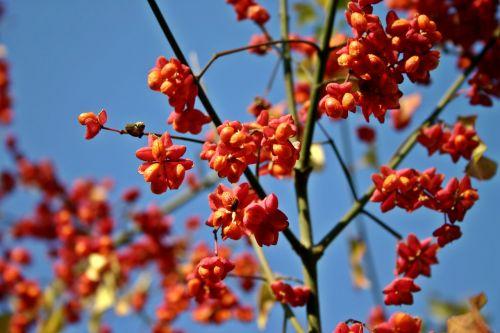 suklys,medis,fortunei,paprastas,pfaff kortai,išsiliejimas,verpstės medis,gamta,augalas,filialas,vaisiai,spalvinga,spalva,rožinis,oranžinė,ryškus,šviesus,toksiškas,dekoratyvinis krūmas,dekoratyvinis augalas,nuodingas augalas,kritimo spalva,dekoratyvinis,krūmas
