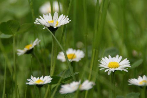 pavasaris,gėlė,pavasario požymiai,Daisy,pieva gamta,žalias,pieva,žolė