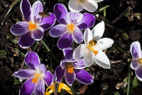 pavasaris,Crocus,schwertliliengewaechs,pavasario krokusas,gėlė,žiedas,žydėti,flora,žydėti,gamta,violetinė,balta,oranžinė,bičių,pabarstyti,hum,gėlės,lenz