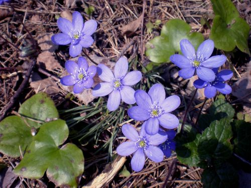 pavasaris,laukiniai anemones,gėlė,augalas,wildflower,anemonis