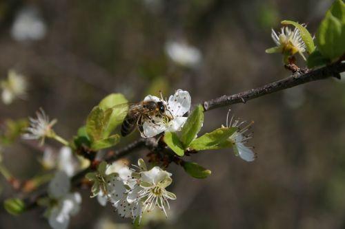 pavasaris,bičių,vabzdys,gėlė,gamta,sodas,medus,žiedas,žiedadulkės,nektaras,žydi,botanika,lapai,spalva,apdulkinimas
