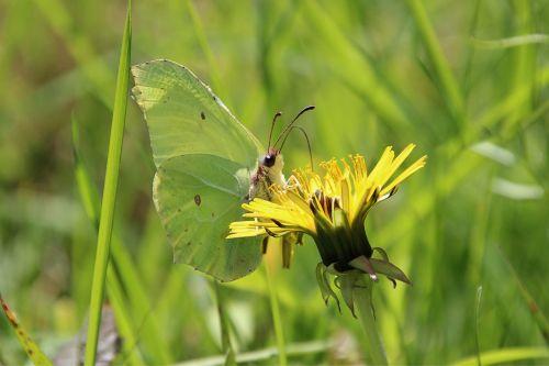 pavasaris,drugelis,gėlė,žolė,klaida,kiaulpienė,citroentje