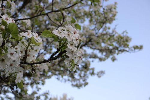 pavasaris,medis,žiedas,žydėti,gamta,augalas,pilnai žydėti,pavasarinis žydėjimas,Uždaryti,budas,žydėti