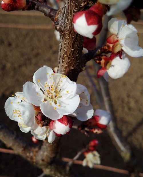 pavasaris,vyšnia,gėlė,medis,gamta,balta,sodas,žydi,filialas,žydi vyšnios,vyšnių žiedų,gėlės,augalai,augalas,žydi,rytinė