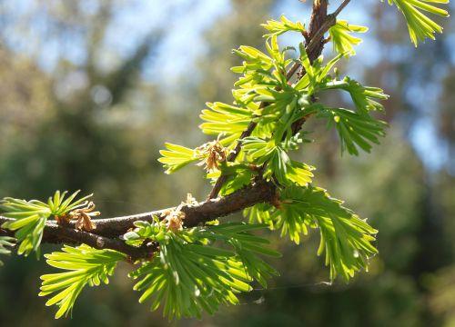 pavasaris,medis,sprigas
