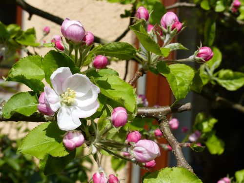 pavasaris,obuolių žiedas,gamta,obelų žiedas,žiedas