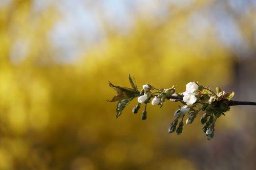 pavasaris,makro,geltona,gėlė,vyšnia,liūdnas,grožis