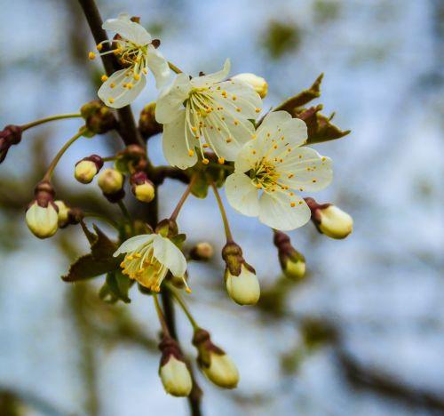 pavasaris,vyšnių mediena,medis,vaismedžių žydėjimas,gamta,vaikščioti,kriaušė,sodas,žiedynas,žydėjimo šakelė,kriaušių žiedas,Uždaryti,baltas žiedas,vyšnia,pabudimas,žydėti,žiedas