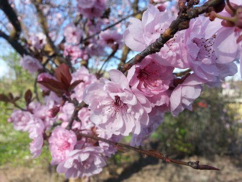 pavasaris,žiedas,rožinis,gėlė,žydintis medis,medis,ornamentinis medis,dekoratyvinis