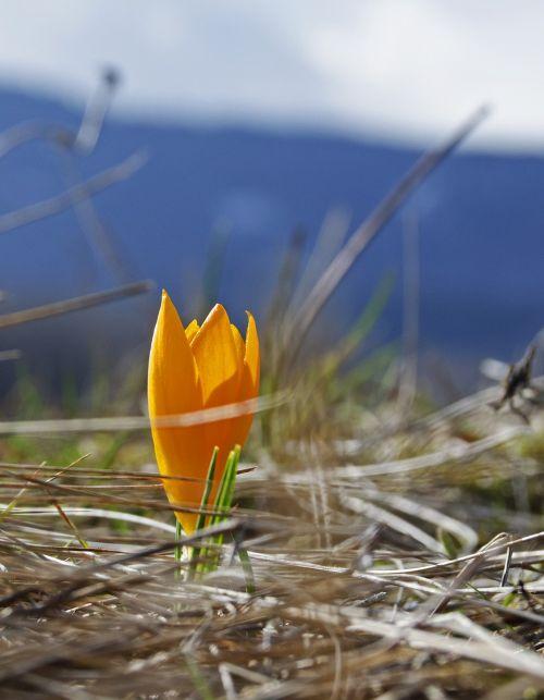 pavasaris, gėlė, oranžinė, pavasario gėlė, augalas, šviesus, žiedlapis, pavasaris, šviežias, žalias, naujas gyvenimas, gamta, gėlių, žydėti, be honoraro mokesčio